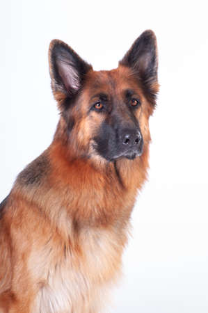 German shepherd dog portrait on white background at studio looking at camera Stock Photo