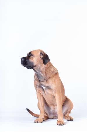 Cane corso dog sitting on white background at studio looking aside profile