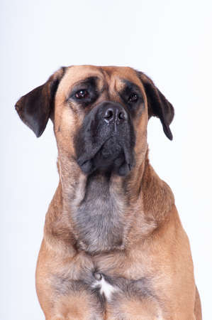 Cane corso dog sitting on white background at studio looking at camera