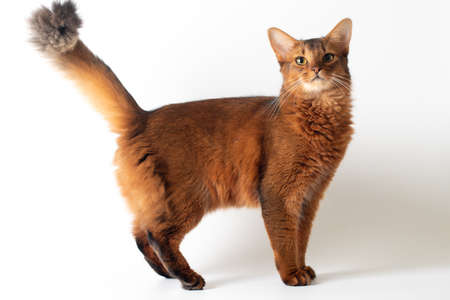 Purebred Somali cat ruddy color on white background