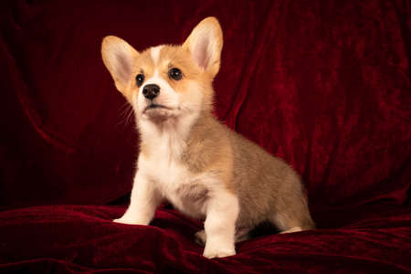 Pembroke Welsh Corgi cute puppy portrait at home on red velvet background Zdjęcie Seryjne