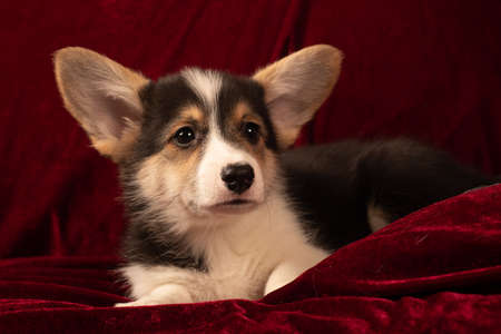 Pembroke Welsh Corgi puppy portrait at home on red velvet background