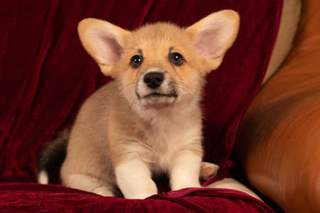 Pembroke Welsh Corgi puppy portrait at home on red velvet background looking at camera