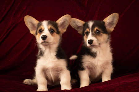 Pembroke Welsh Corgi puppies portrait at home on red velvet background Zdjęcie Seryjne