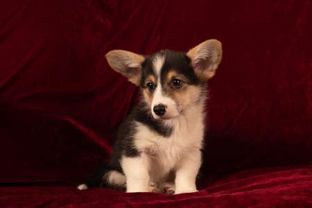 Pembroke Welsh Corgi puppy portrait at home on red velvet background