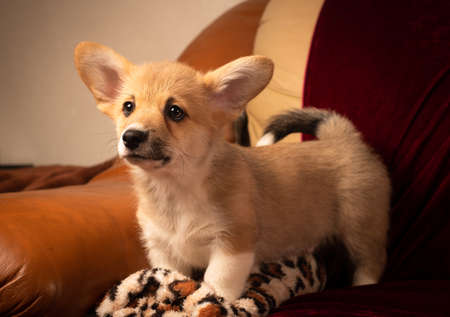 Pembroke Welsh Corgi puppy portrait at home on red velvet background brave standing