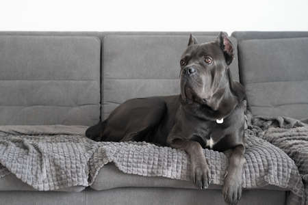 Cane corso grey color portrait at soft plush plaid lying on sofa Zdjęcie Seryjne