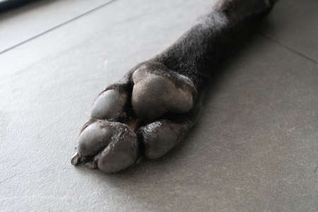 Paw of cane corso closeup view picture at home with shadows