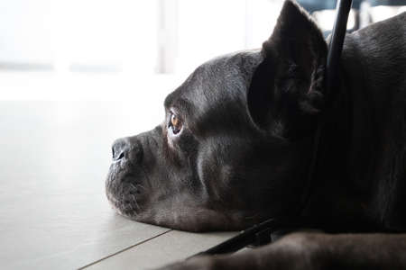 Big head grey cane corso purebred lying on floor in appartment