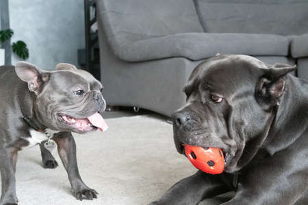 Same color dogs different breeds play with ball in modern grey appartment Zdjęcie Seryjne