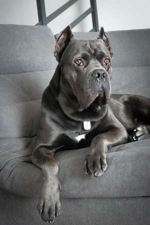 Grand cane corso grey color lies on sofa like a king and looking at camera Zdjęcie Seryjne