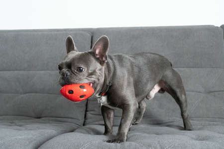 French bulldor portrait standing with red toy on grey sofa and wants to play