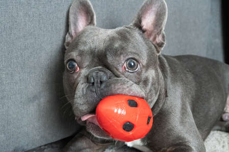 Cute french bulldor lying on the floor in modent appartment and chewing red toy ball
