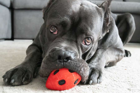 Cane corso big boy chewing red ball toy on the floor and looking at camera