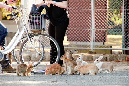 cute wild bunny rabbits in japan's rabbit island, okunoshima
