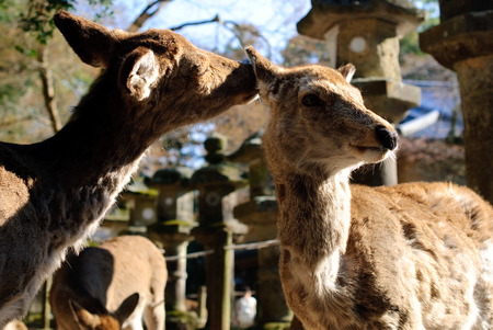 deers were begging and playing in nara park, kyoto