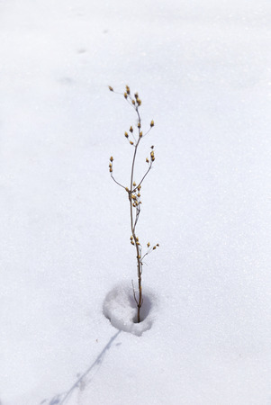 a withered flower on snow