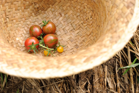 fresh mini tomato from an organic farm in japan