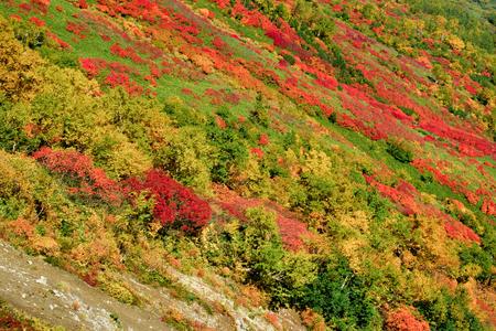 red leaves season of mountain in Hokkaido japan Фото со стока