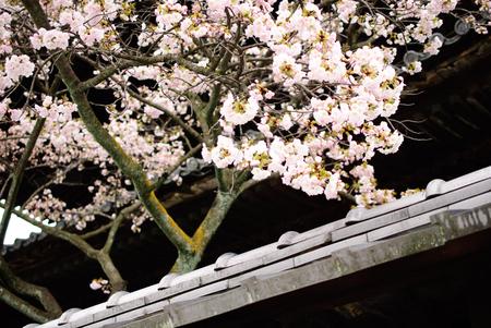 Japan cherry blossom, Sakura season Фото со стока