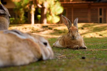 Cute wild bunny rabbits in japans rabbit island, Okunoshima Фото со стока