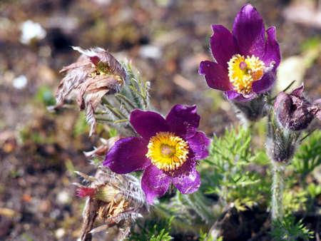 pulsatilla: Pasqueflower - Pulsatilla - beautiful spring flowers