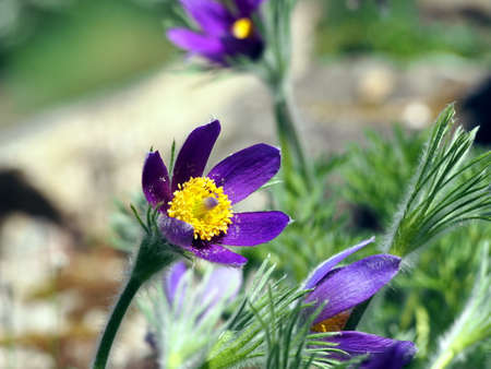 pasqueflower: Pasqueflower - Pulsatilla - beautiful spring flowers