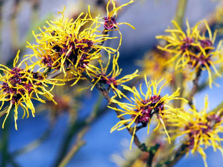 witch hazel: Blooming Hamamelis - Witch Hazel