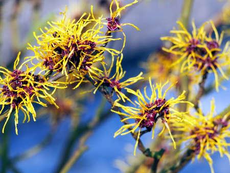 Blooming Hamamelis - Witch Hazel
