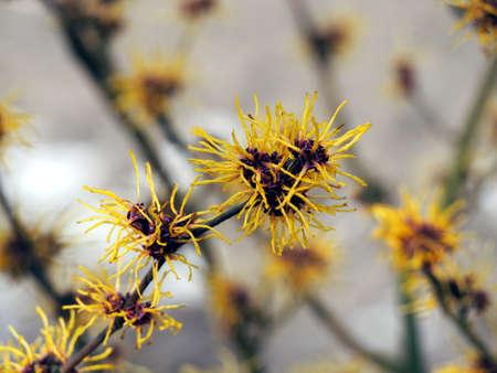 Blooming Witch Hazel - Hamamelis Stock Photo