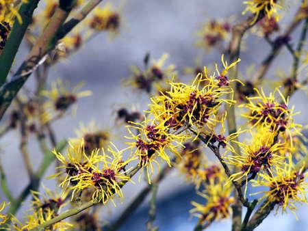 witchhazel: Blooming Witch Hazel - Hamamelis Stock Photo