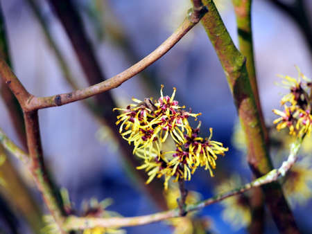 hazel: Blooming Witch Hazel - Hamamelis Stock Photo