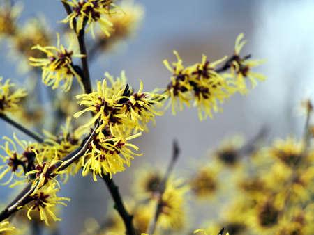 hamamelis: Blooming Witch Hazel - Hamamelis Stock Photo