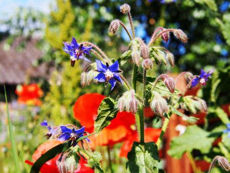 officinalis: Borago officinalis - Borage, Starflower