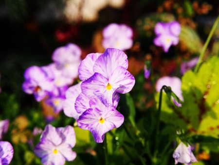 bicolored: Viola cornuta Rebecca - Horned pansy Stock Photo