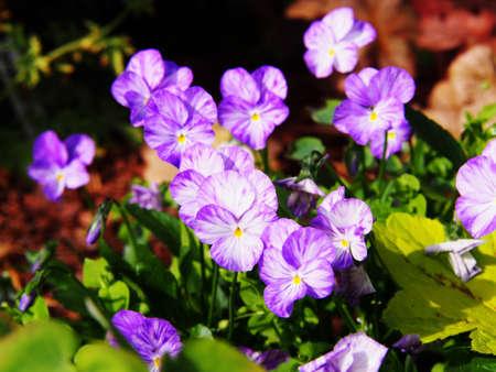 horned: Viola cornuta Rebecca - Horned pansy Stock Photo