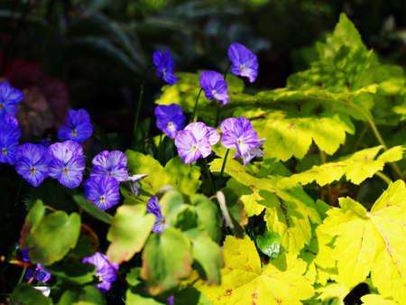 bicolored: Viola cornuta Rebecca - Horned pansy and Heucherella Sunrise Falls Stock Photo