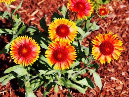 Gaillardia aristata in the garden