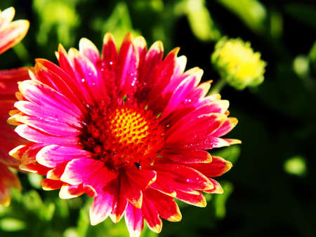 snappy: Red and yellow Gaillardia aristata Sunset Snappy