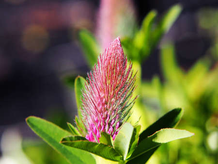 red clover: Trifolium rubens (Ornamental Clover - Red Trefoil - Red Feather) Stock Photo