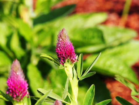 trifolium: Trifolium rubens (Ornamental Clover - Red Trefoil - Red Feather) Stock Photo
