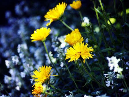 pot marigold: Blooming Calendula officinalis - Pot marigold in the garden