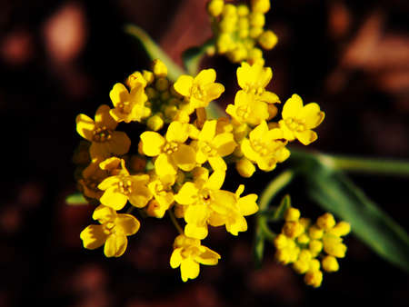 golddust: Autinia saxatilis - Alyssum saxatile (Basket of gold, Rock Madwort, Goldentuft)