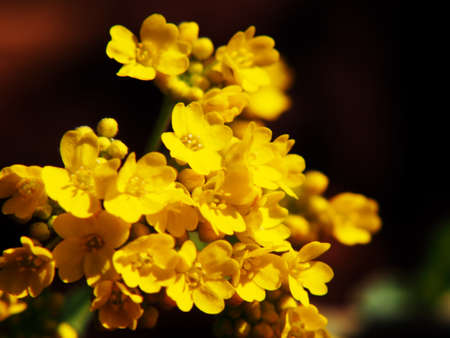 Autinia saxatilis - Alyssum saxatile (Basket of gold, Rock Madwort, Goldentuft)