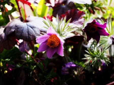 pasqueflower: Pasqueflower (Pulsatilla vulgaris)