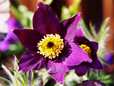 vulgaris: Pasqueflower (Pulsatilla vulgaris)