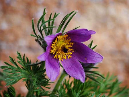 pulsatilla: Pasqueflower (Pulsatilla vulgaris)