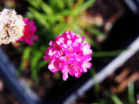 thrift: Pink spring flowers - Armeria maritima (Sea thrift) Stock Photo
