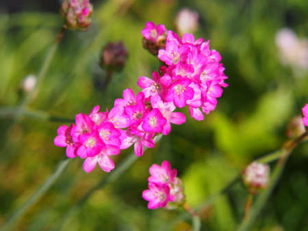 Pink spring flowers - Armeria maritima (Sea thrift) Stock Photo