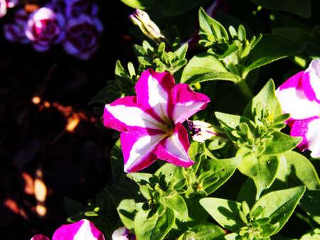 decorative balconies: Star petunia in the garden